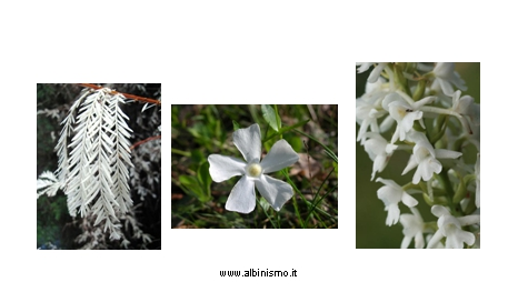 Albinism in plants